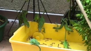 getlinkyoutube.com-Chameleon feeding frenzy