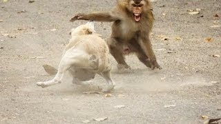 getlinkyoutube.com-Dog vs Monkey Fight,Dog vs Monkey Real Fight