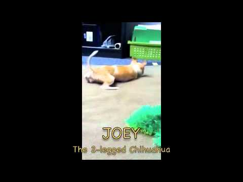 Joey the Two legged Chihuahua