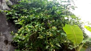getlinkyoutube.com-Pohon Cabe Rawit Teringgi di Dunia
