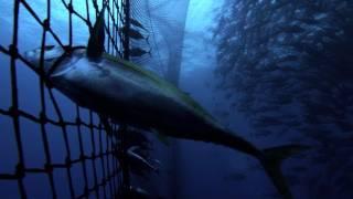 getlinkyoutube.com-Pacific Tuna On The Line