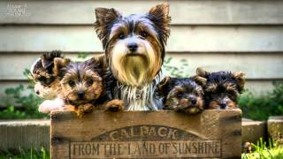 "getlinkyoutube.com-Intro to ""Parti"" Yorkies and the Biewer from ""Silkies Aussies Yorkies"""