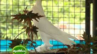 getlinkyoutube.com-Documentary on different exotic breeds of pigeon grown in the terrace