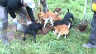 getlinkyoutube.com-Plummer Terriers and Patterdale Terriers ratting