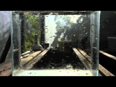 Wild Guppy fry Net In Greenhouse Part lll