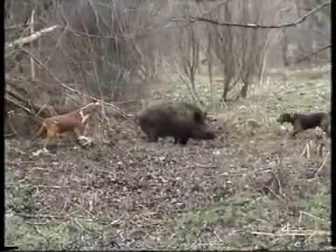 Posavski gonic i srpski gonic-rad na d.svinju