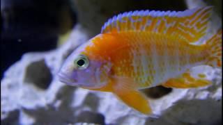 getlinkyoutube.com-Assorted Aulonocara that we keep and breed