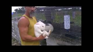 getlinkyoutube.com-Altex buck breeding first time with New Zealand White for meat rabbits