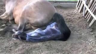 getlinkyoutube.com-Лошадь рожает жеребёнка!!! Посмотрите!!!