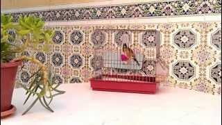 Chardonneret Parva, Algérie, Oran.Arzew