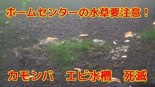 getlinkyoutube.com-水草カモンバとエビ ホームセンター注意してください死滅しますカボンバ農薬科学肥料シュリンプ水槽