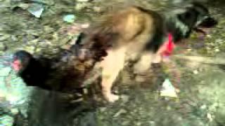 getlinkyoutube.com-cachorro cruza com galinha
