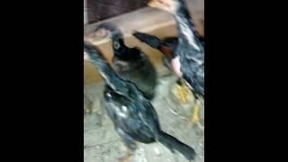 getlinkyoutube.com-Galo de combate ( crescimento dos frangos)