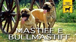 getlinkyoutube.com-MASTIFF e BULLMASTIFF trailer documentario