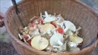 getlinkyoutube.com-หมกเห็ดป่า งามๆๆ ใส่ใบอีตู่ Mhok wild Mushroom