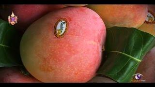 getlinkyoutube.com-เกษตรทำเงิน : R2E2 จากมะม่วงธรรมดาทวีค่าเป็นเงินล้าน