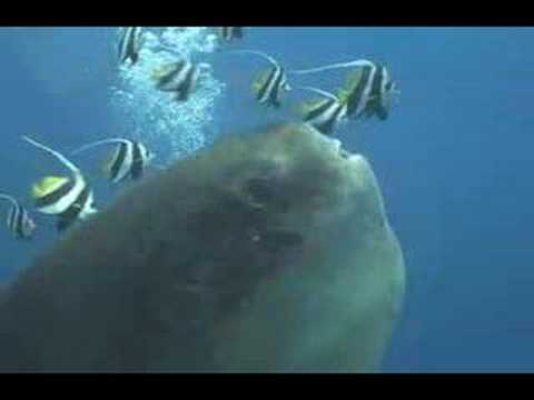 Mola Mola Video