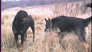 getlinkyoutube.com-Dominant Behavior of German Shepherd and Rottweiler