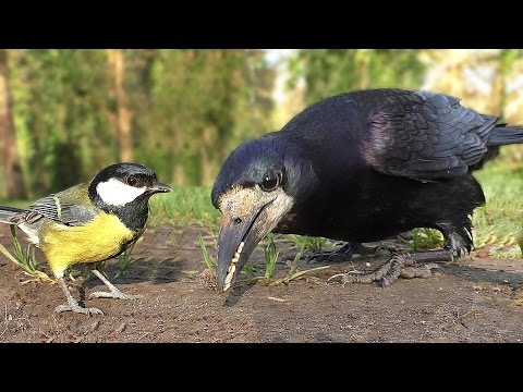 Video and Bird Sounds for Cats : Little Birds in The Morning
