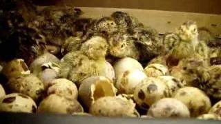 getlinkyoutube.com-bıldırcın yavrusunun kuluçka makinesinen çıkışı.AVI incubator quail  鹌鹑 Wachtel quail