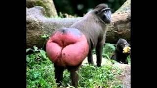 getlinkyoutube.com-Macacos engraçados- Top 20