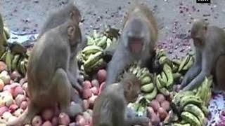 getlinkyoutube.com-Monkey menace in Varanasi disrupts Wi-Fi service
