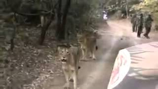 getlinkyoutube.com-Lions on the road in girnar jungle Junagadh Gujarat