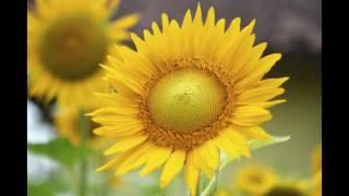 getlinkyoutube.com-Kebun Bunga Matahari di Pathuk Gunungkidul
