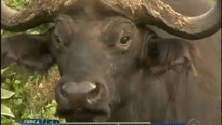 getlinkyoutube.com-Tudo a Ver 08/06/2012: Búfalo é uma das cinco maiores feras do continente africano