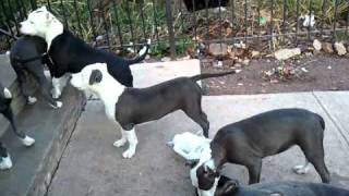 "getlinkyoutube.com-BLUE NOSE PITBULL PUPPIES ""GIMME THAT TOY"""