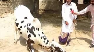 allah Wala  Eid-ul-Azha bull