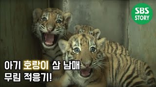 아기 호랑이 삼 남매 적응기! @TV동물농장 130818