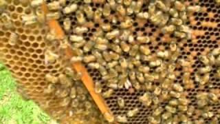 getlinkyoutube.com-Two queens in one hive!