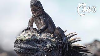 Filming Iguana vs Snakes | Behind the Scenes 360° | Planet Earth II width=