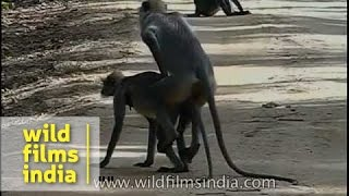 getlinkyoutube.com-Only the best one gets to mate - forest langurs!