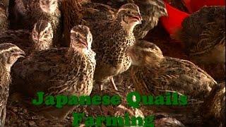 getlinkyoutube.com-Japanese Quails Farming