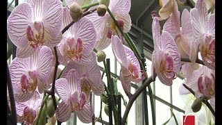 getlinkyoutube.com-Ovako se presađuju orhideje