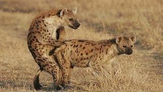 Hyena Mating Hard in The Wild width=