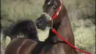 getlinkyoutube.com-الخيول العربية الاصيلة اجمل حصان بلعالم