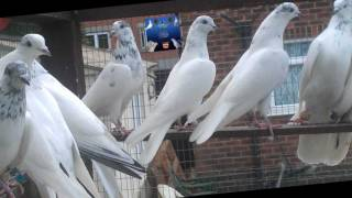 getlinkyoutube.com-pakistani pigeons raja tasir 2011 & 2012