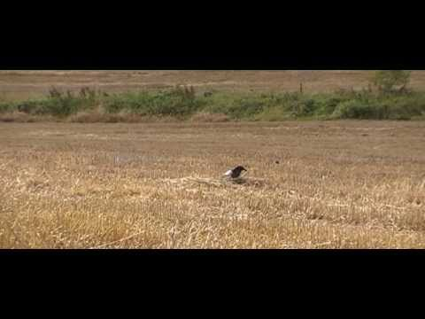 Air Rifle Hunting,  Wood Pigeon Decoying Over Stubble Two, 9 Sept 2010