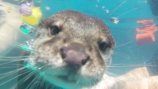 getlinkyoutube.com-People Swim With Otters For The First Time
