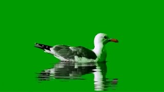 getlinkyoutube.com-Swiming Bird on Green Screen