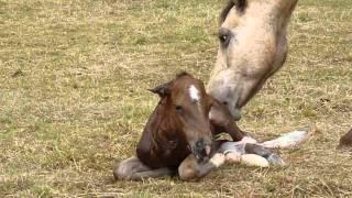 Greisy - Mare giving birth