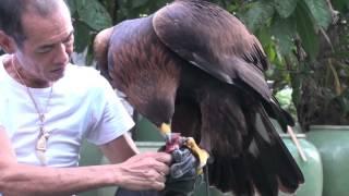getlinkyoutube.com-Golden Eagle Training, First Step After Maning