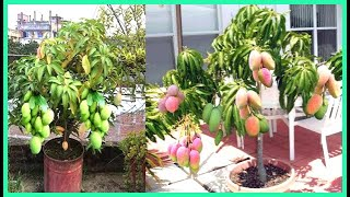 How to graft a Mango Tree