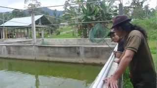 getlinkyoutube.com-Affnan's Aquaponics - Janda Baik Fish Nursery