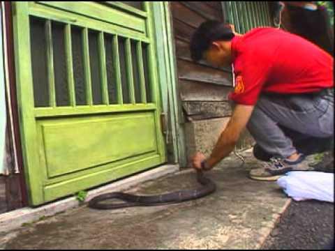 台灣特有生物研究保育中心 二 台灣五大毒蛇 - YouTube