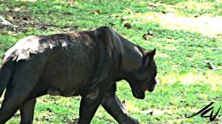 getlinkyoutube.com-Black Panther - Panthera onca  at  Xcaret Riviera Maya Mexico - YouTube
