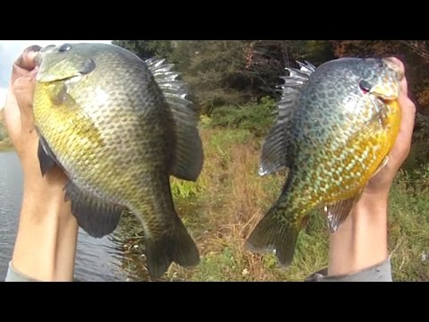 Bait Fishing #65 - Shore Fishing for Bluegill and Pumpkinseed Sunfish with Worms